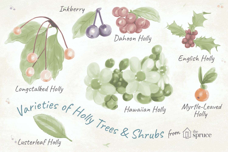illustration of holly species
