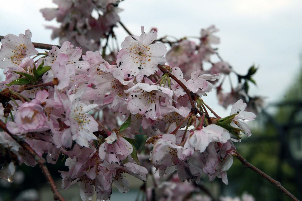Close up of Higan cherry tree Blooms