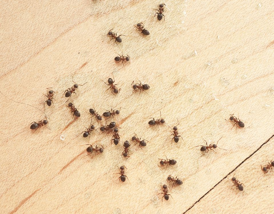 ants on wooden floor
