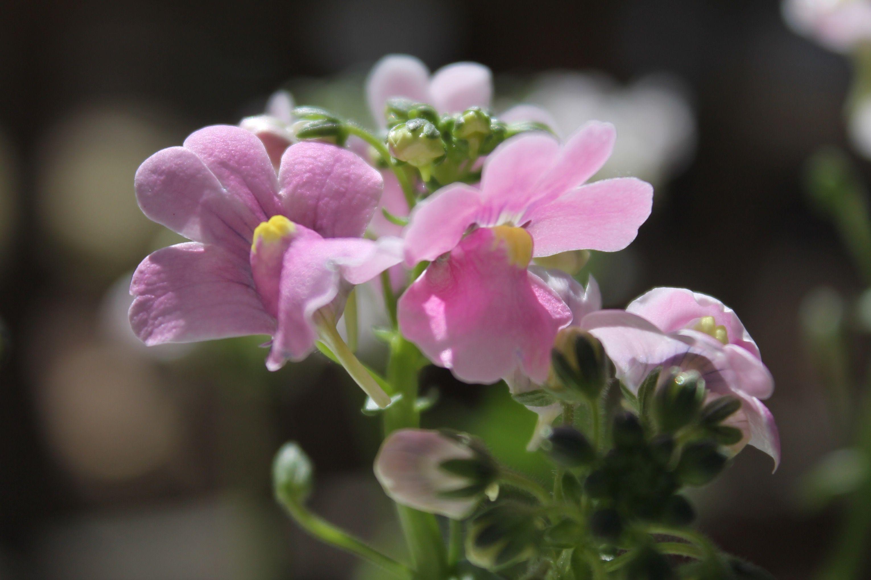 Nemesia Plant Profile