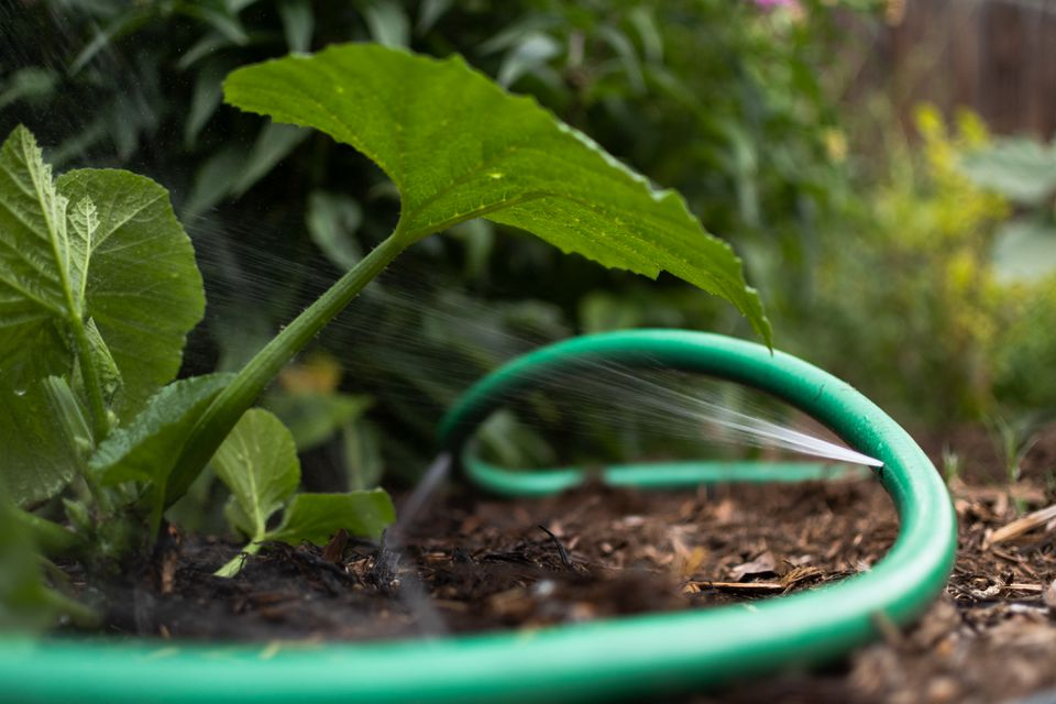 Green garden hose with holes used as soaker hose next to some garden plants