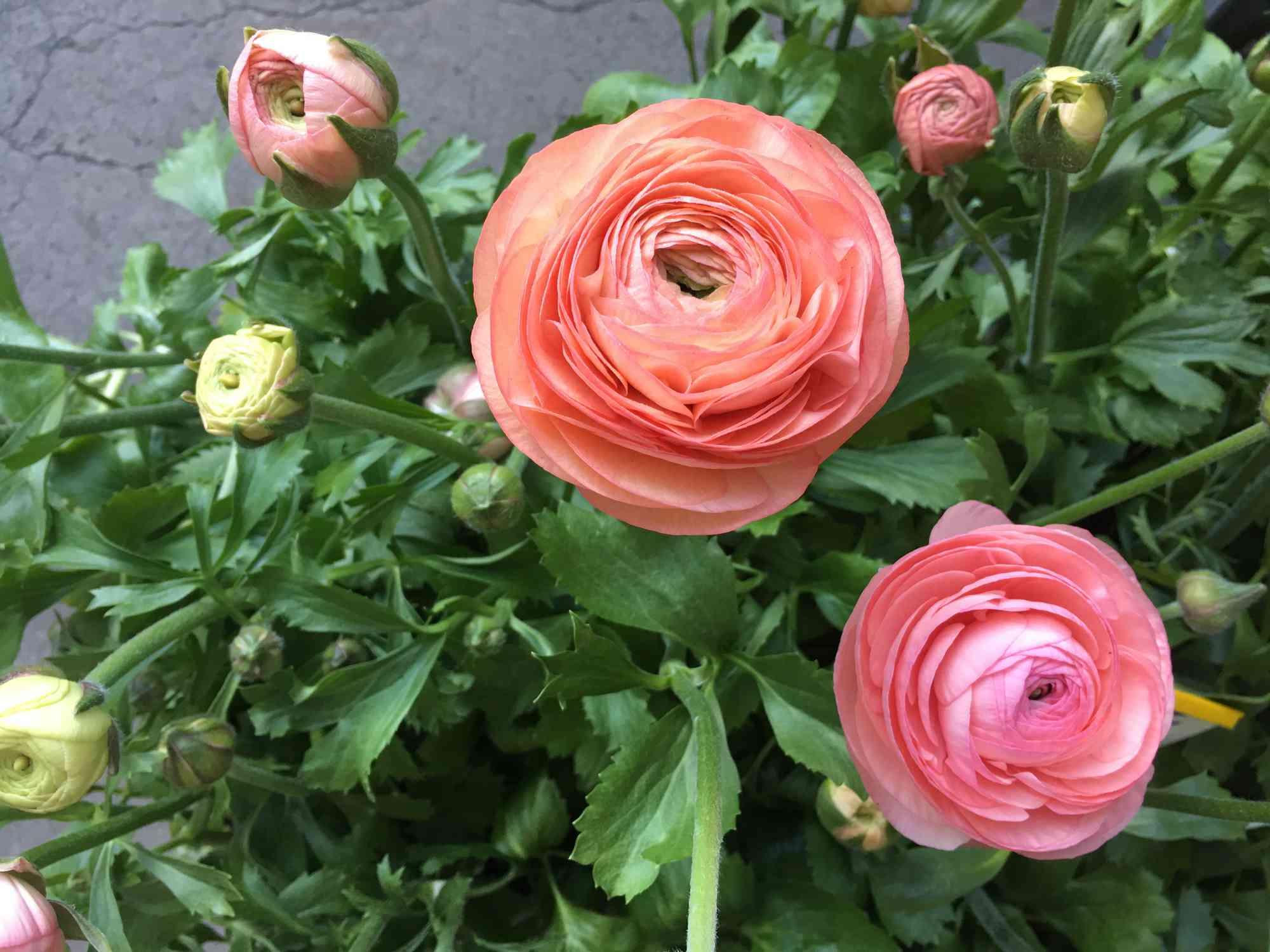 Ranunculus Venere