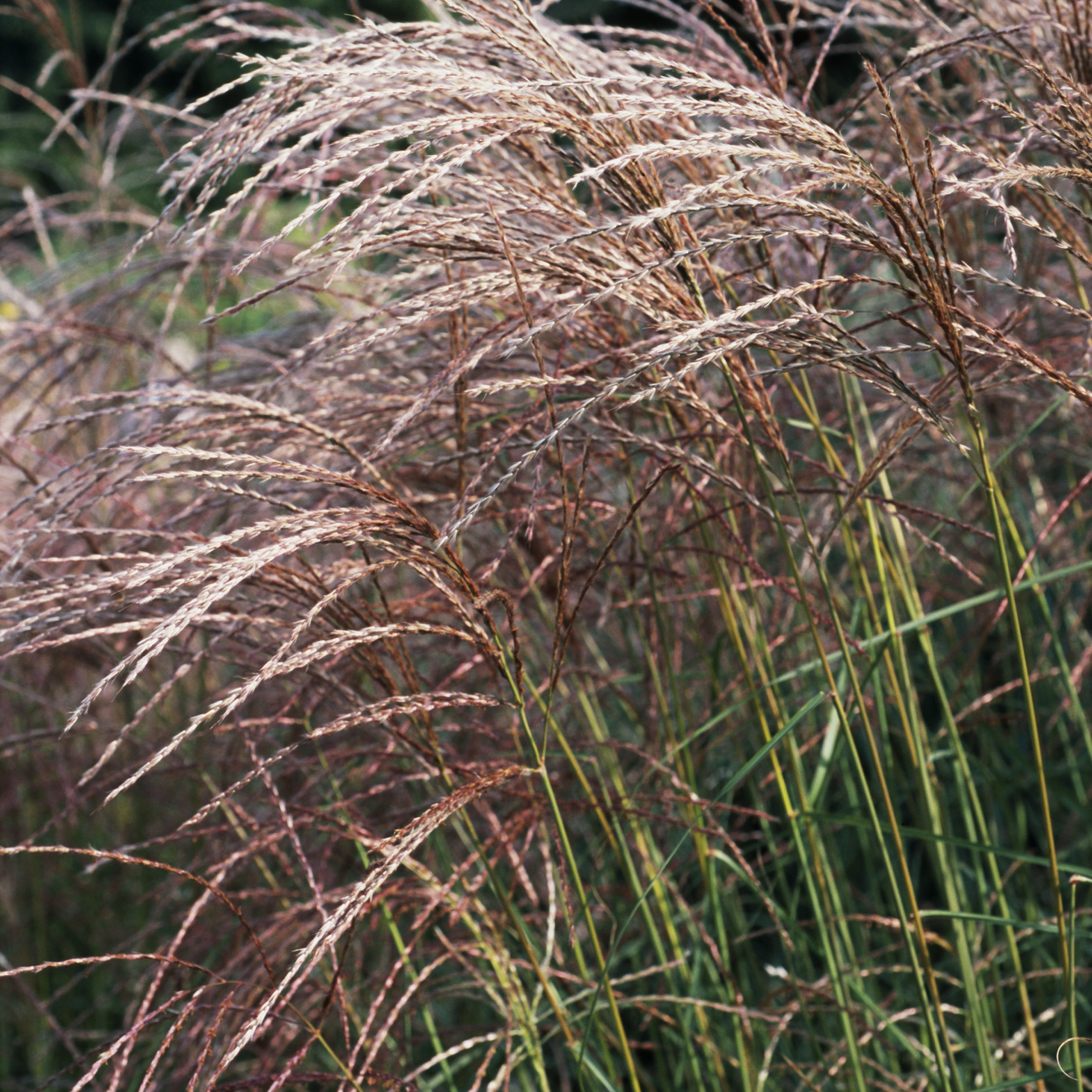 The 13 Best Ornamental Grasses For Fall Color