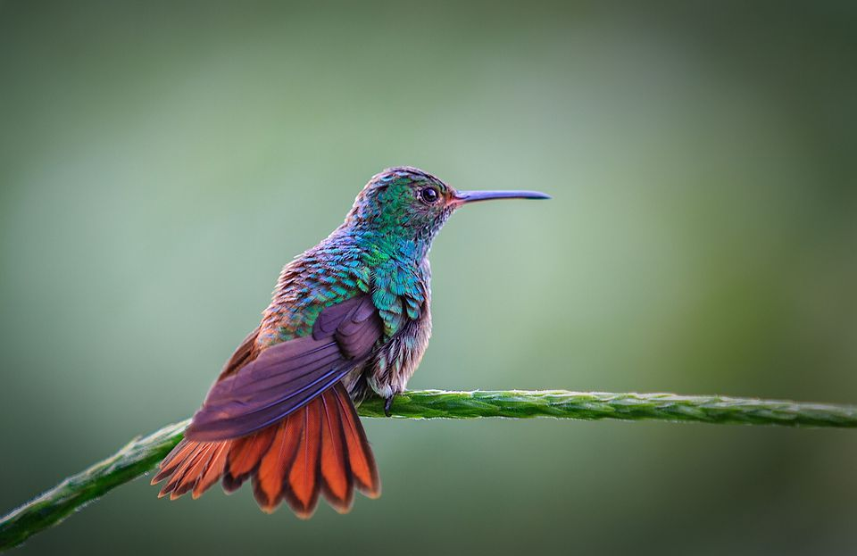 Humming bird perching on branch, Costa Rica