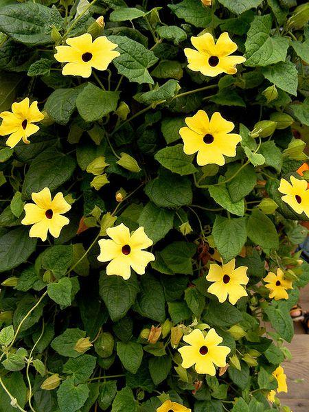 11 best flowers to use in hanging baskets black eye susan vine mightylinksfo