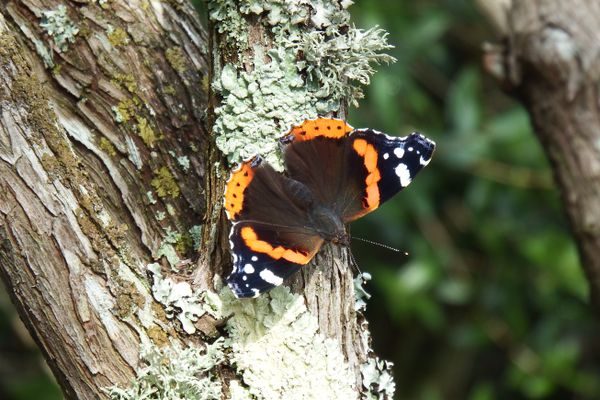 Vanessa atalanta butterfly, perched on a tree with lichens