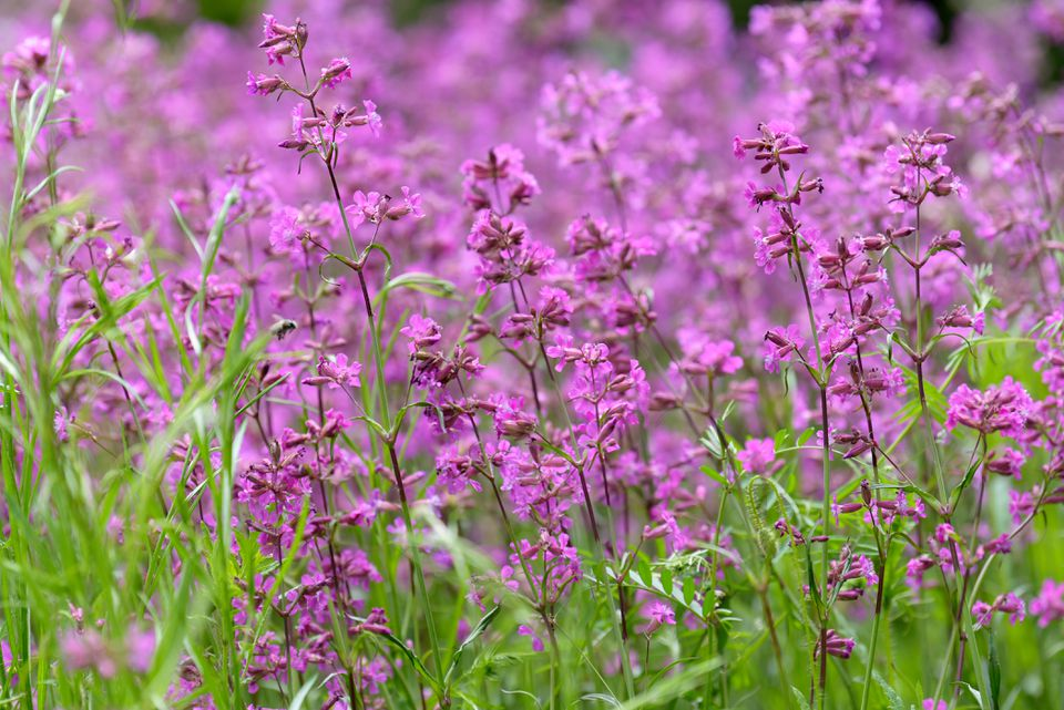 Silene viscaria plants with small pink flowers on thin stems and thin foliage surrounding