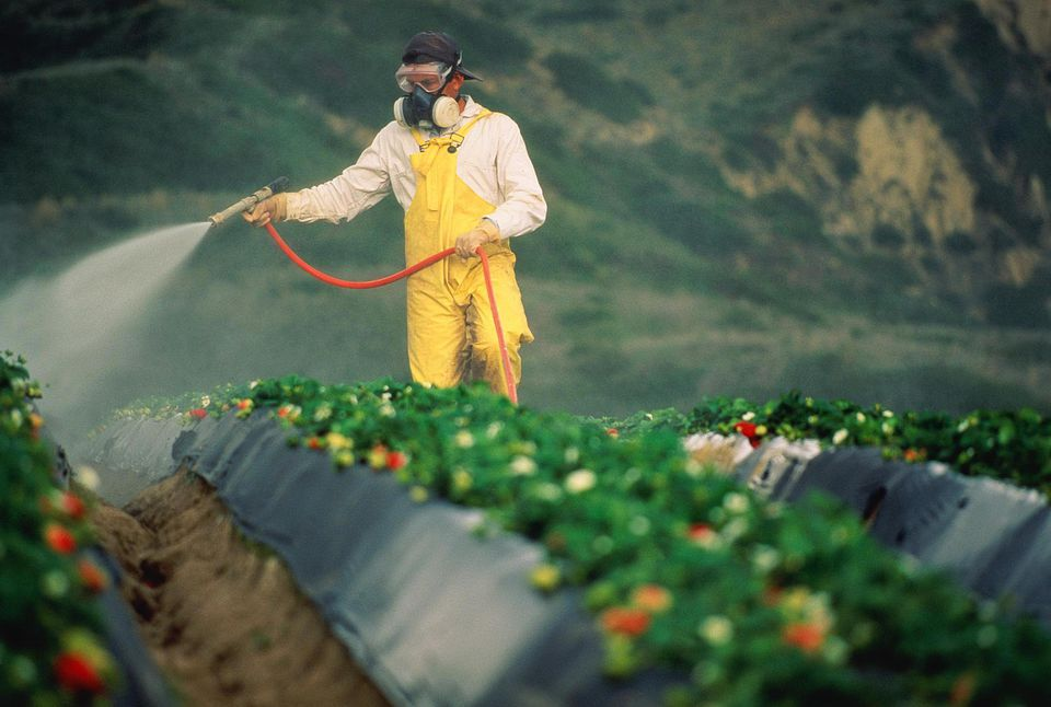 Worker spraying strawberry fields with pesticide