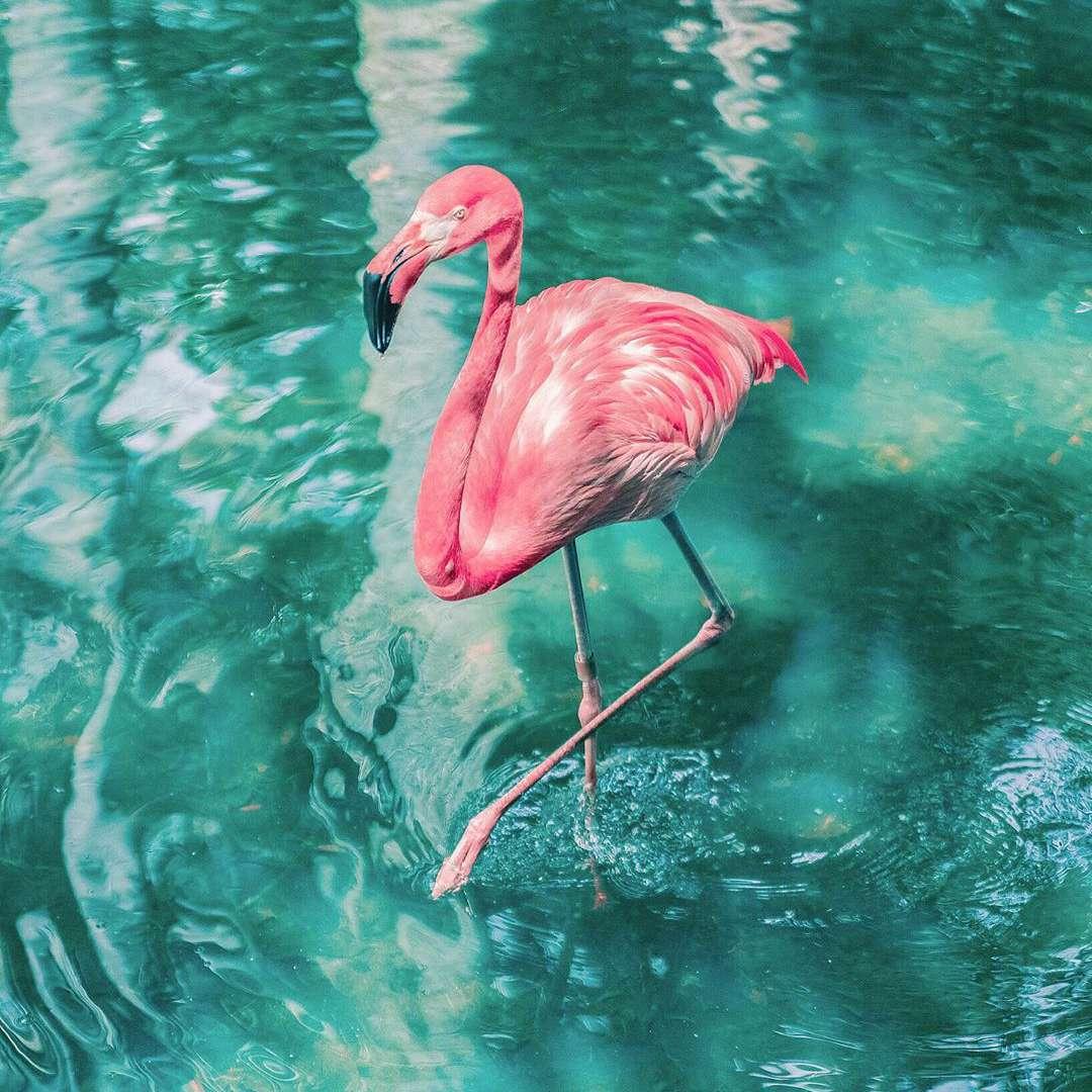 A flamingo in aqua water