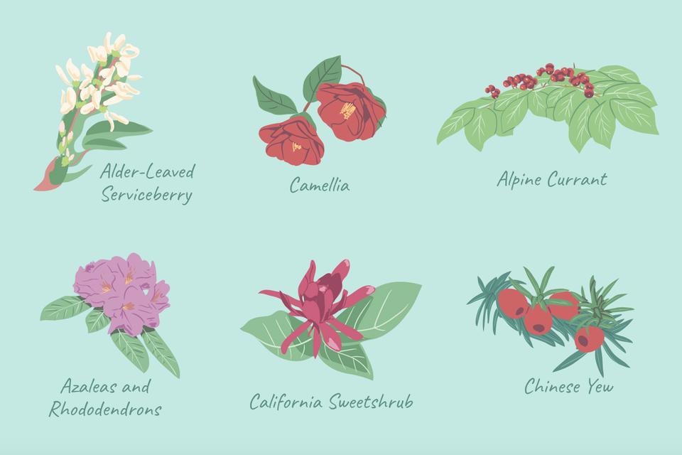 mejores arbustos para ilustración de sombra