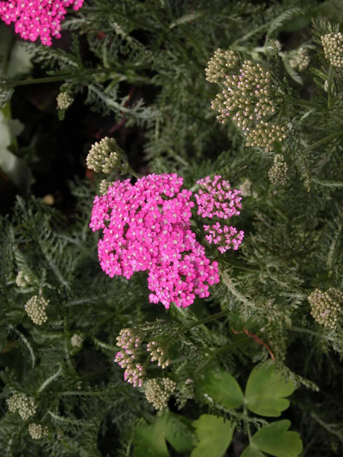 Achillea millefolium (Yarrow) 'Cerise Queen'