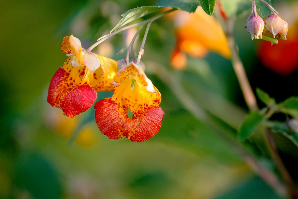 Common Jewelweed - Impatiens capensis