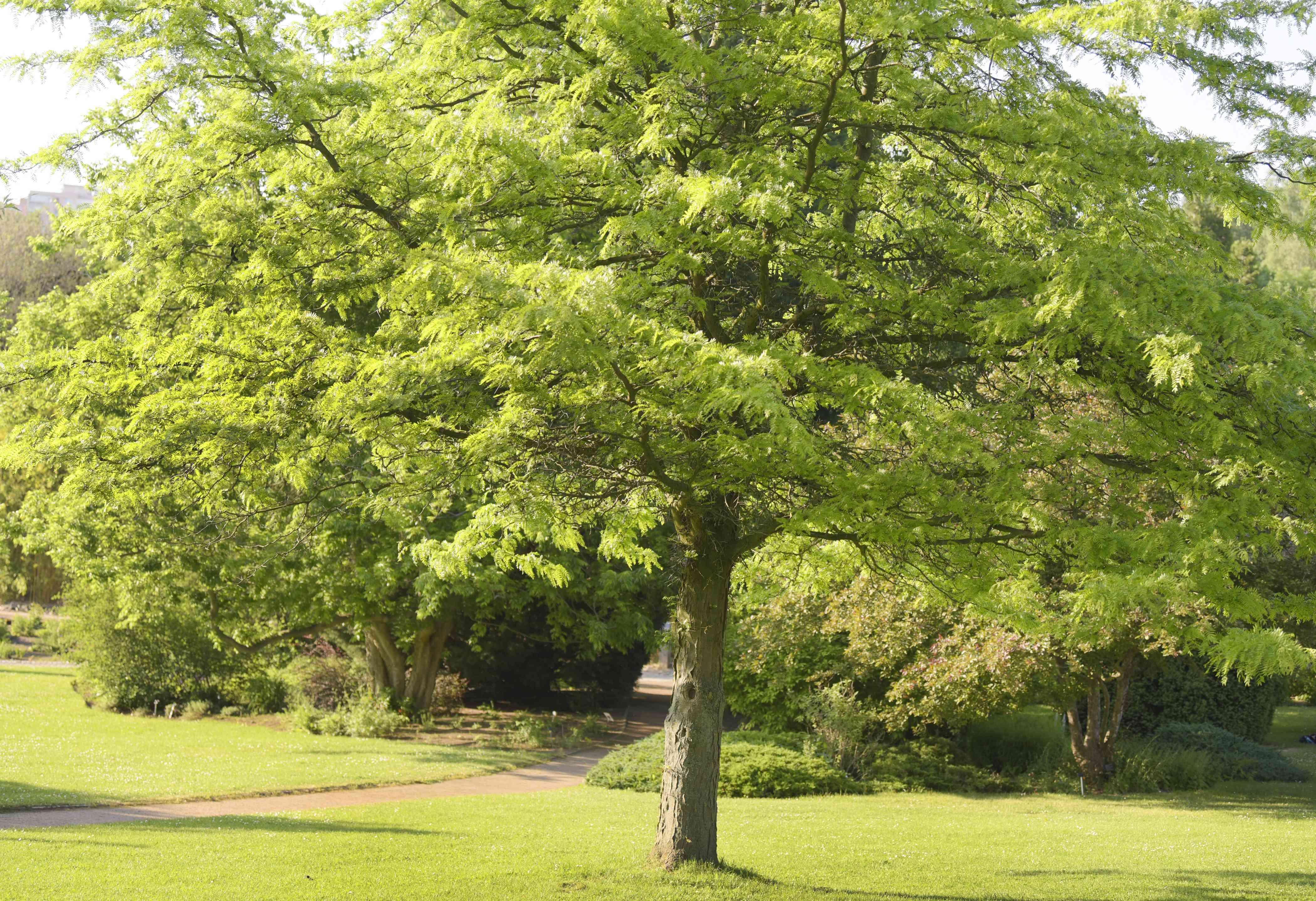 Sunburst honey locust tree with bright green leaves in garden field