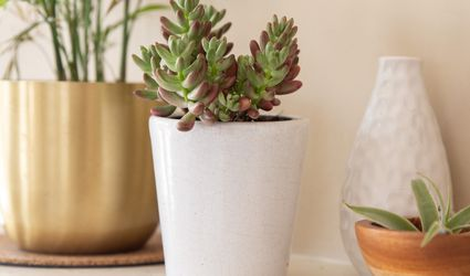 Jelly bean succulent plant in white ceramic pot on decorated surface