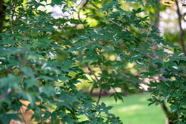 Shantung maple tree branches with dark green leaves in shade
