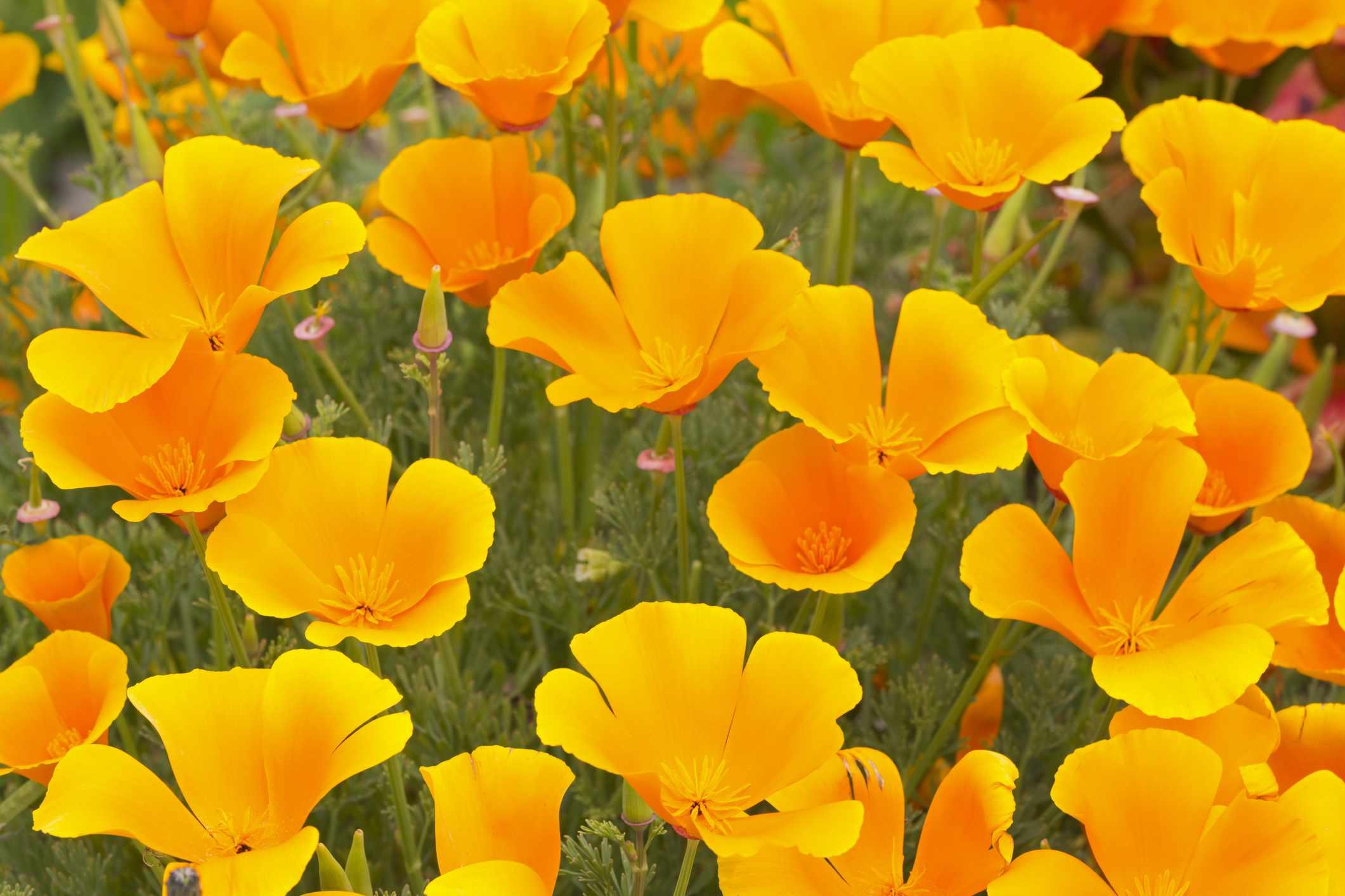 California Poppies (Eschscholzia)