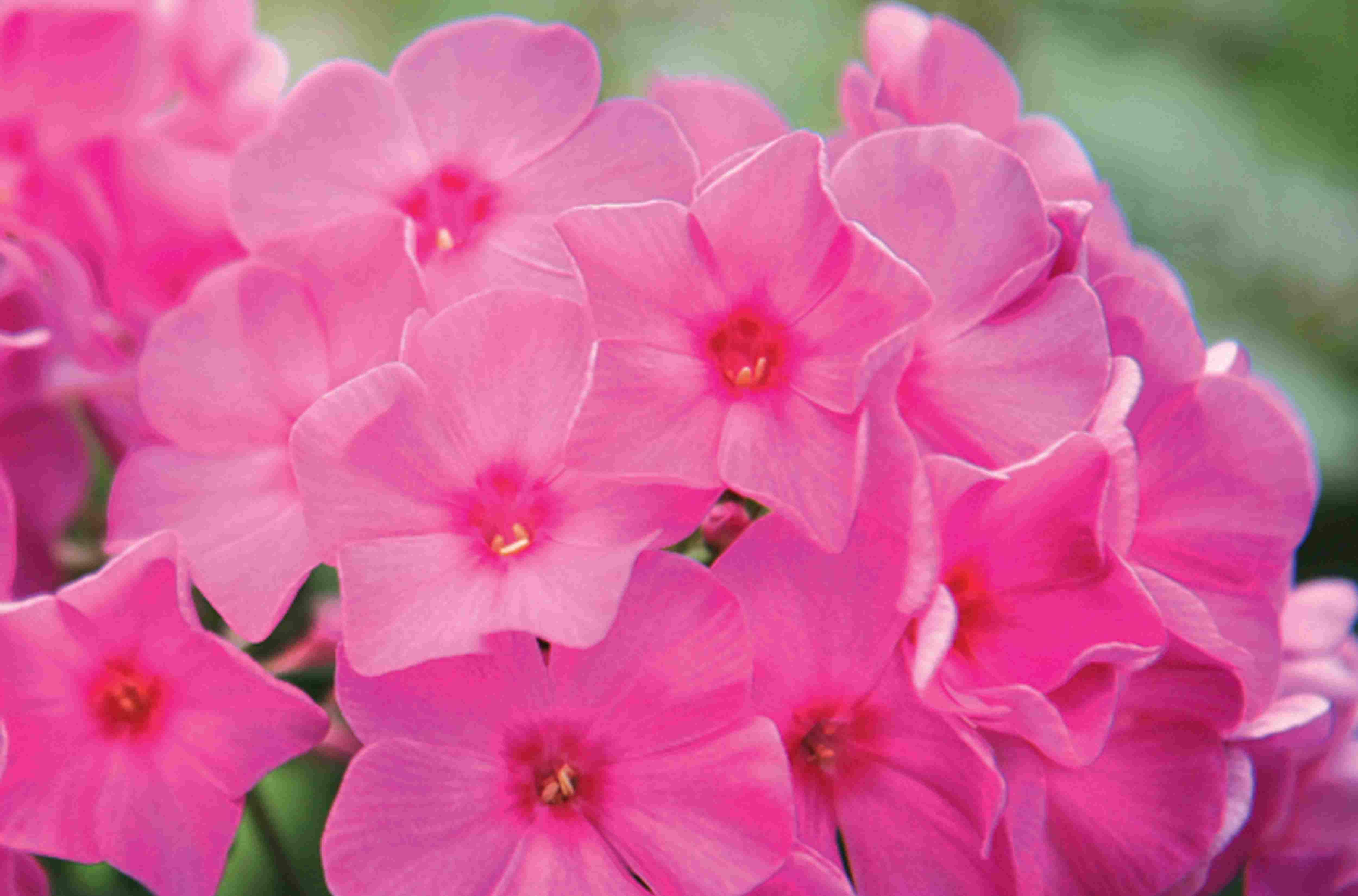 Closeup of flowers of Pink Flame tall garden phlox.