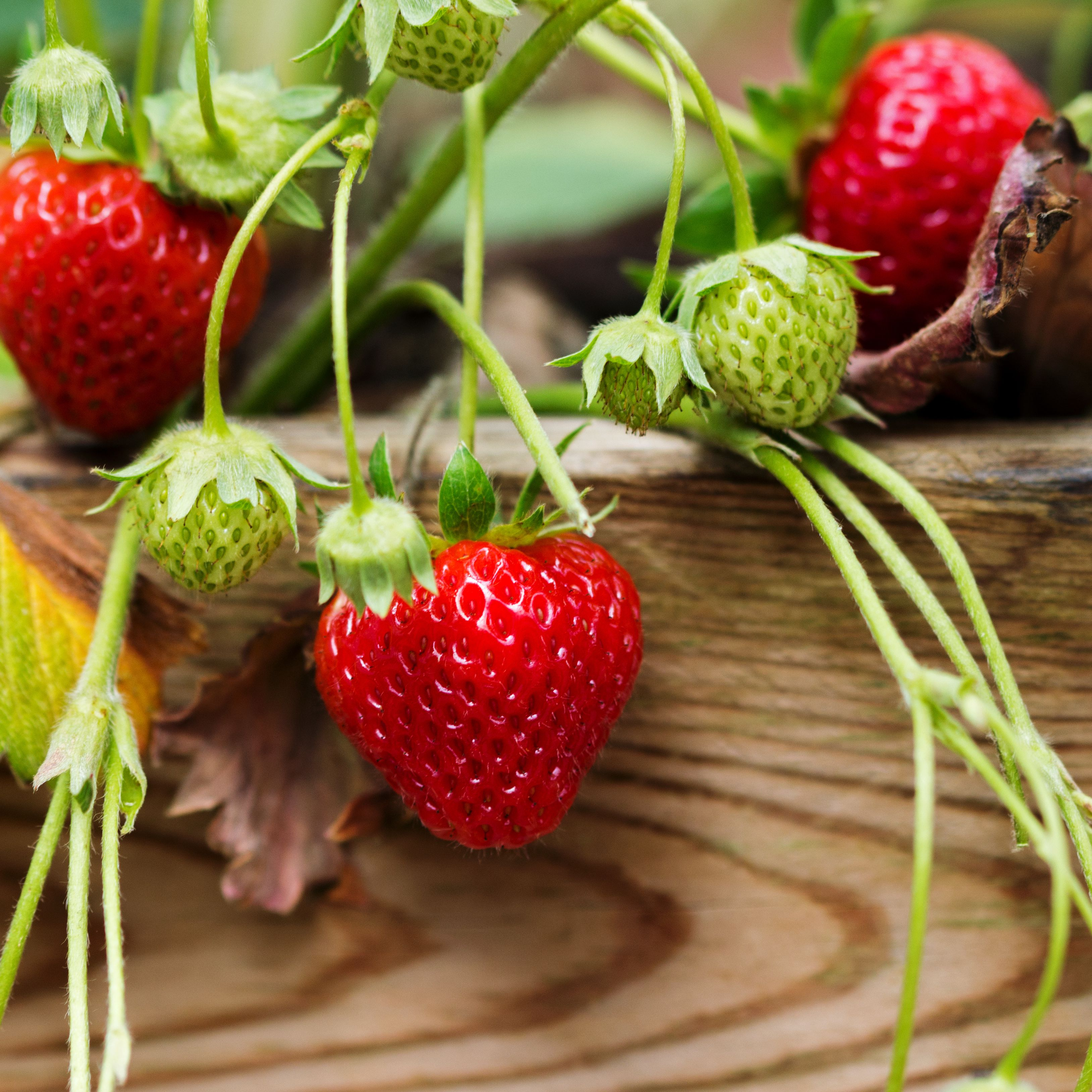 Easy Tips To Grow Strawberries From Seed