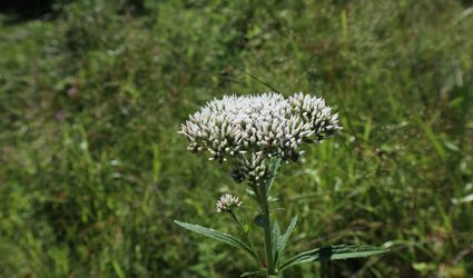 Boneset flower head.