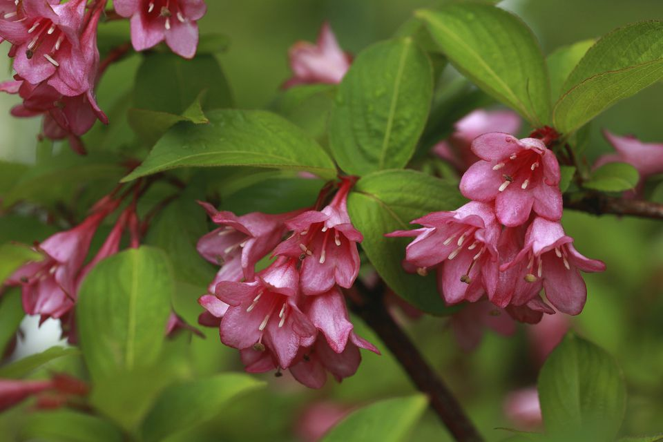 Weigela bush with deep pink flowers.