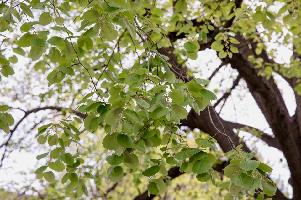 Linden tree branches with light green leaves and tree trunk in the background
