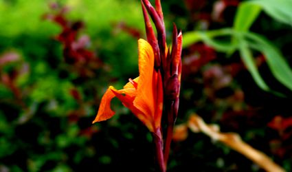 Orange canna lily flower