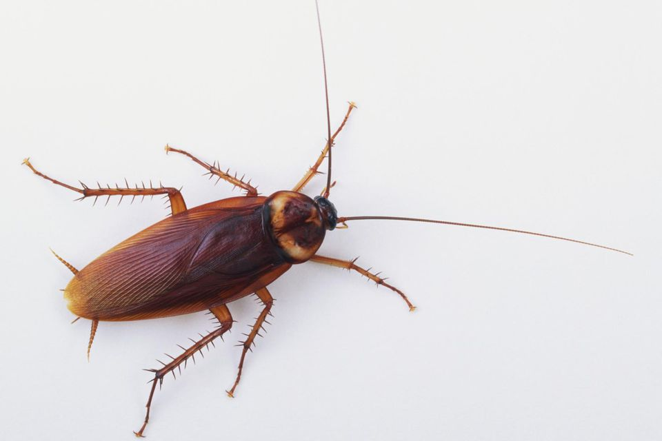 American cockroach (Periplaneta americana), view from above