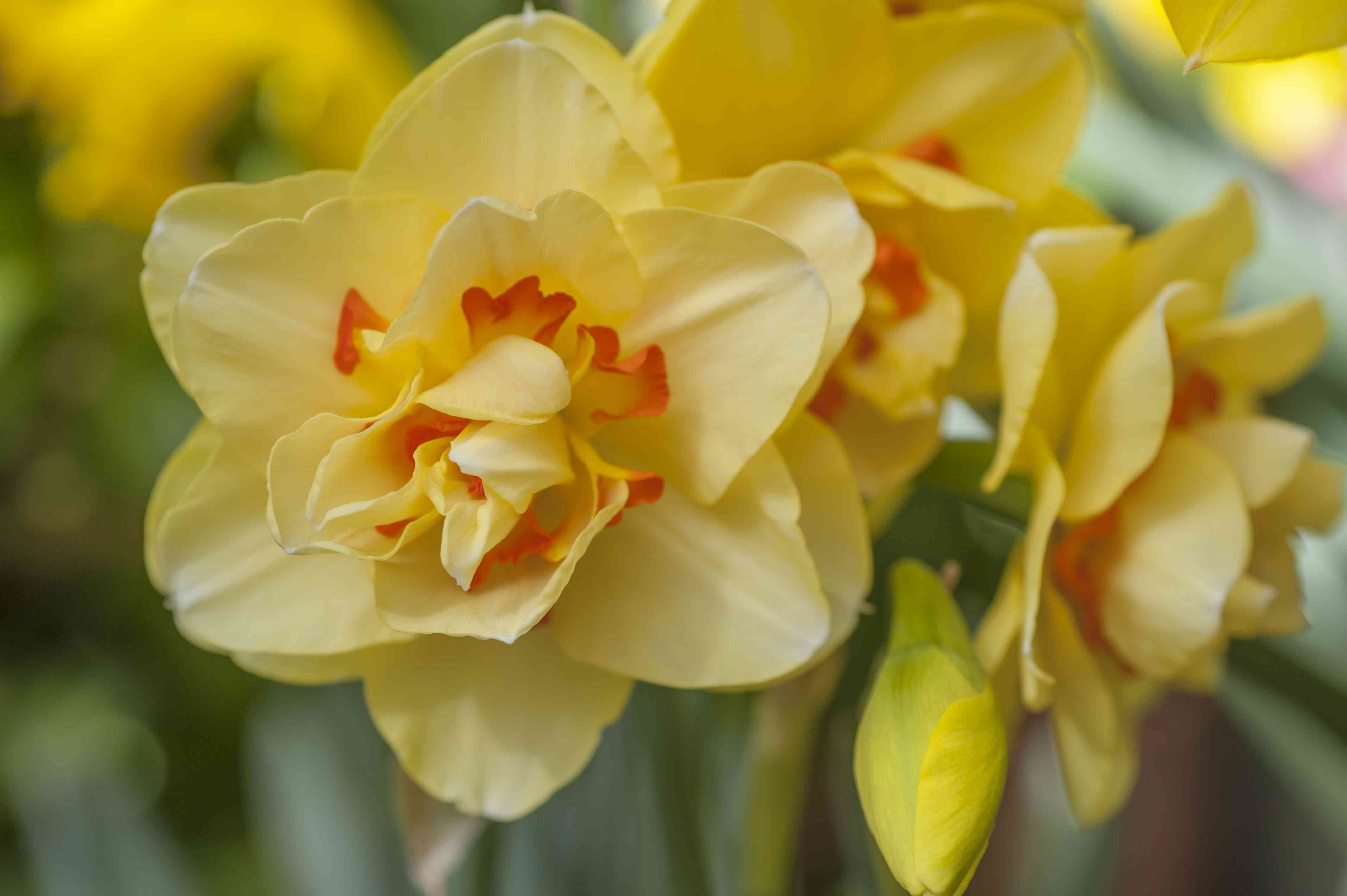 Double daffodil with yellow and red petals
