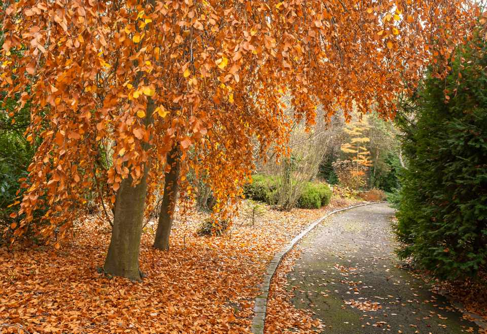 European beech trees lining pathway with orange leaves on branches and on ground