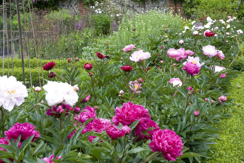 What is a perennial flower or plant border of mixed peonies paeonia in walled garden mightylinksfo
