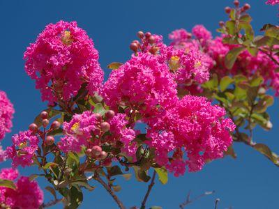 Crape myrtle tree flowering in pink.