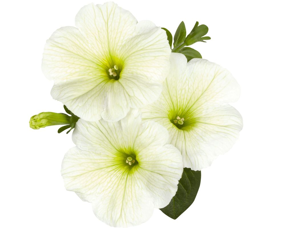'Surprise Lime' petunias with pale green centers and cream petals