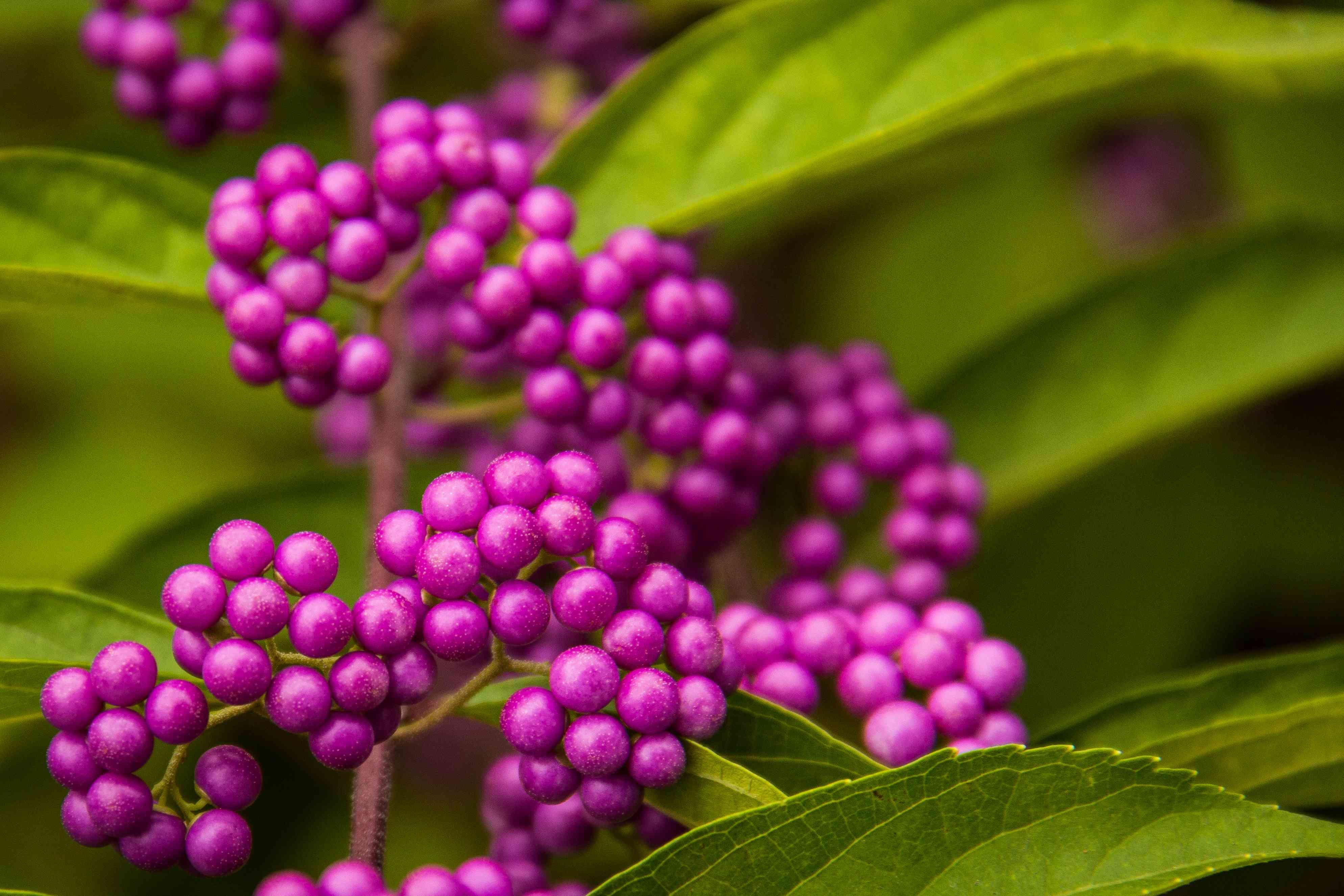 Purple Berries 2
