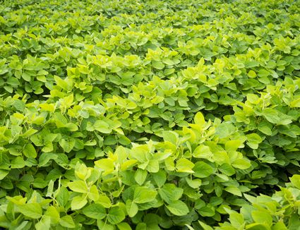 Rows of green-leaved bush beans