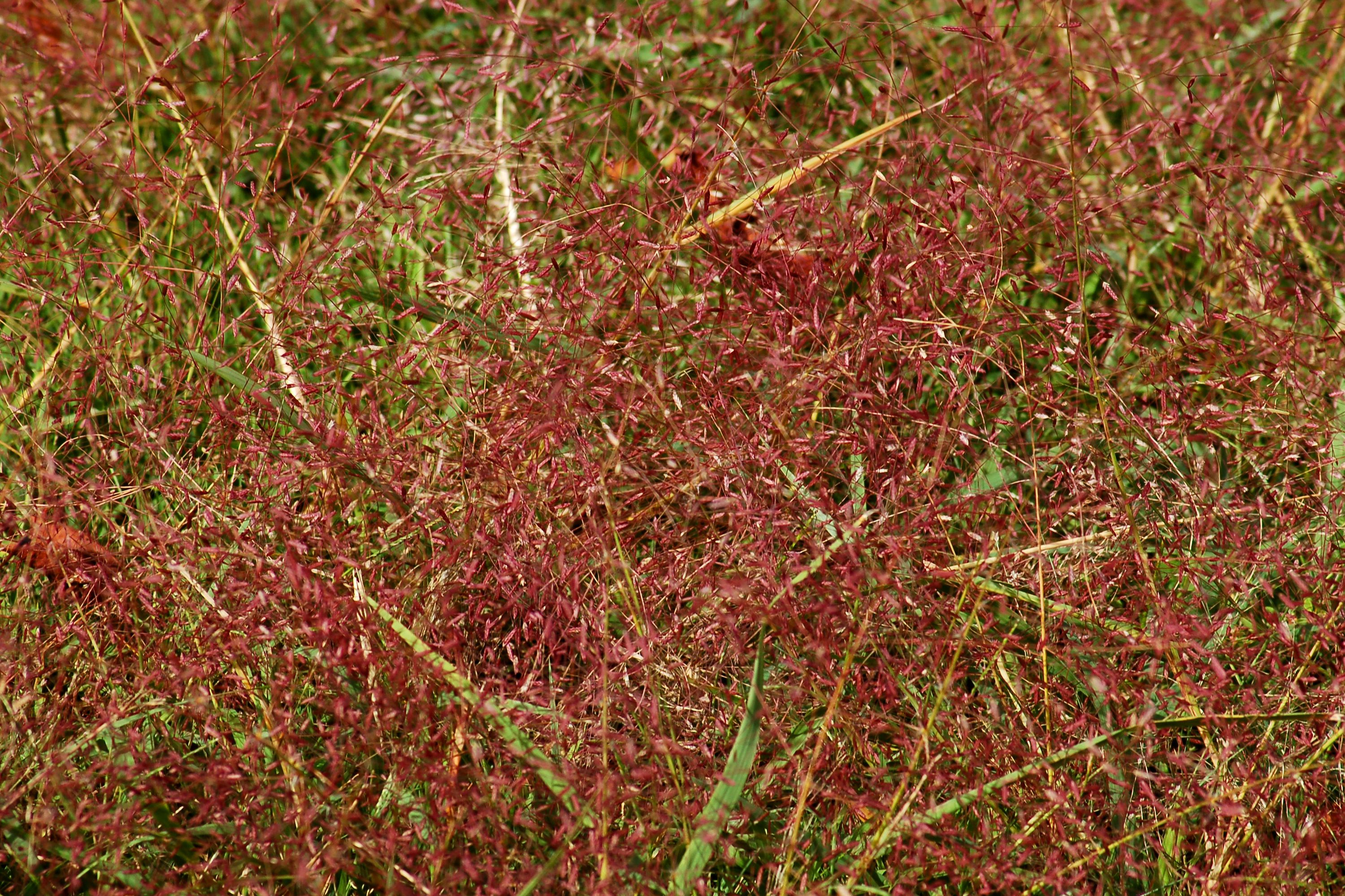 Picture: purple love grass. This wild grass is often seen along roadsides.