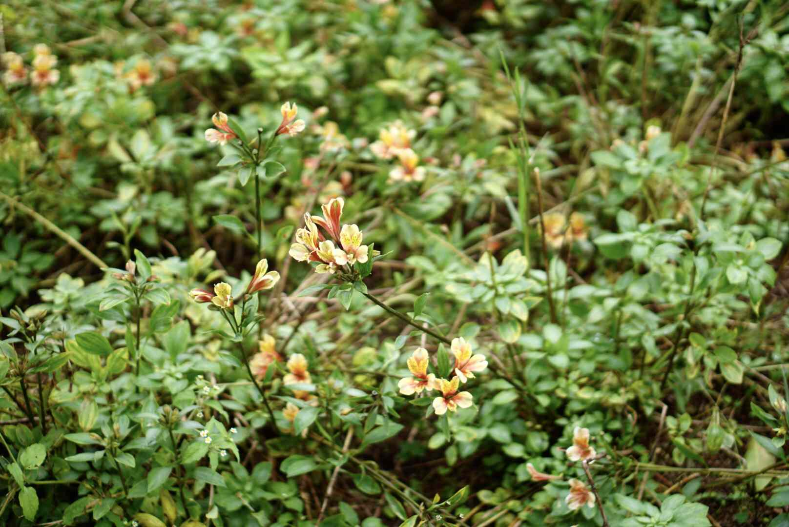 Peruvian lily flowers in bush