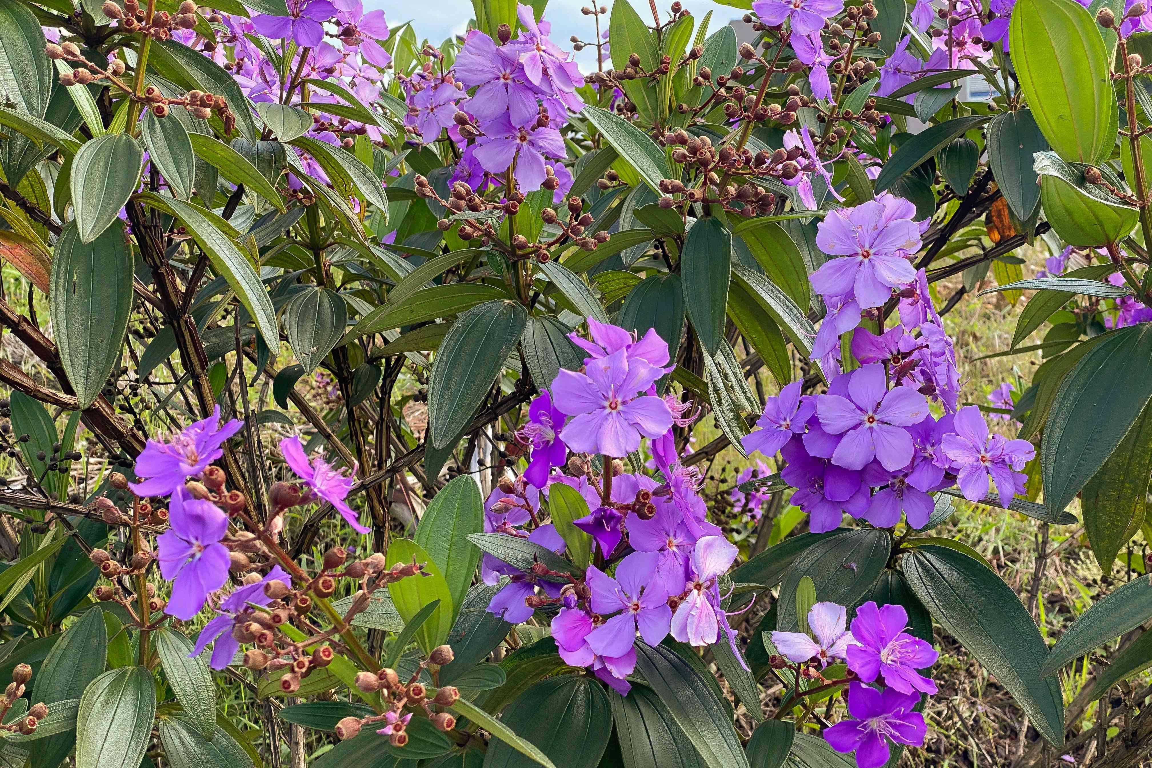 purple princess flowers