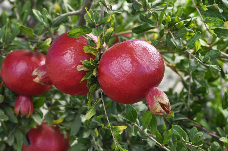 Five ripening pomegranates on a tree.
