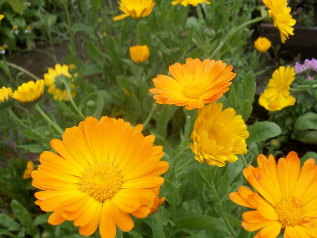13 Plants With Daisy Like Flowers