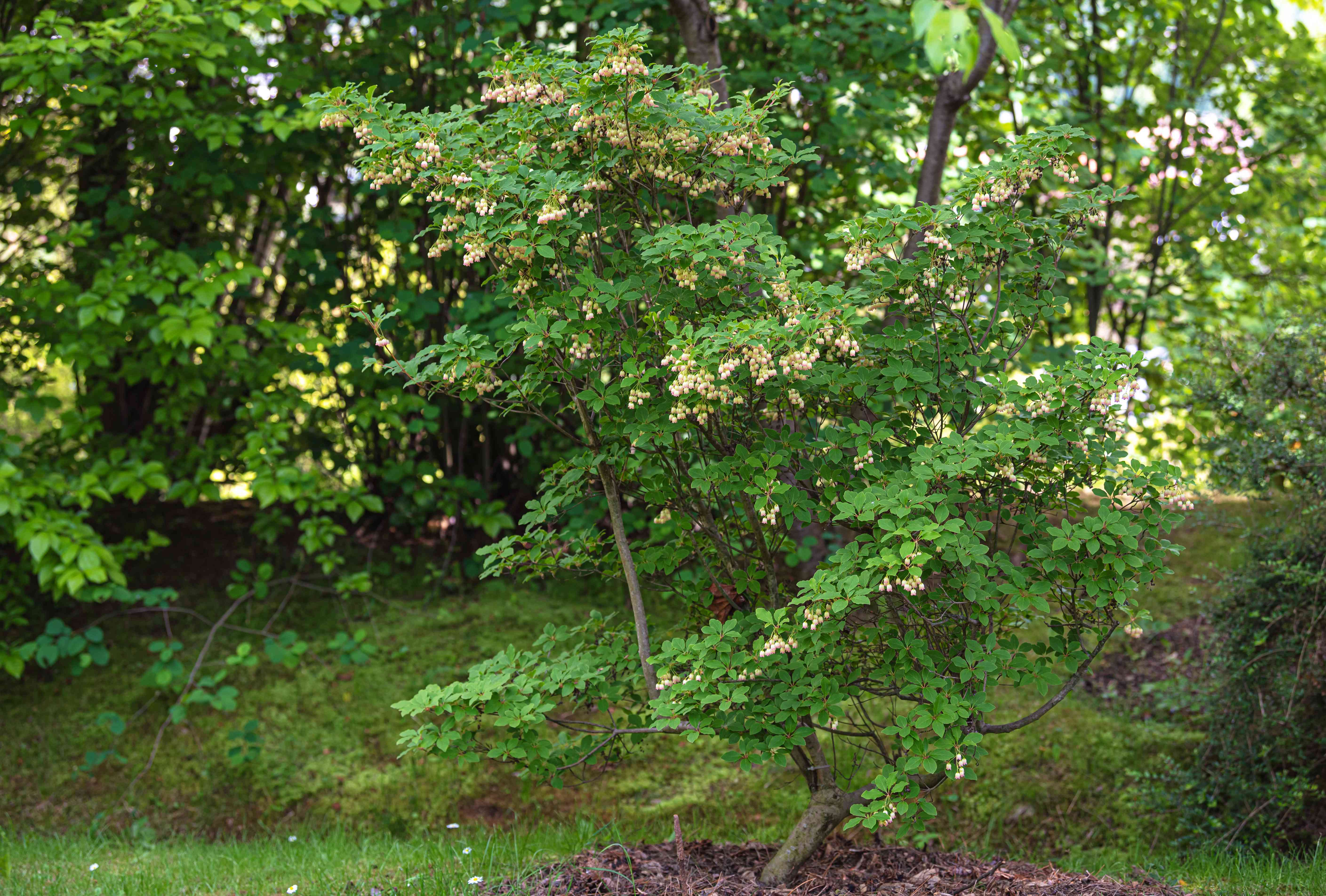 Red vein enkianthus shrub with tall trunk and small white flowers