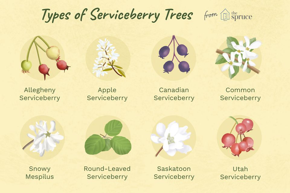 illustration of types of serviceberry trees