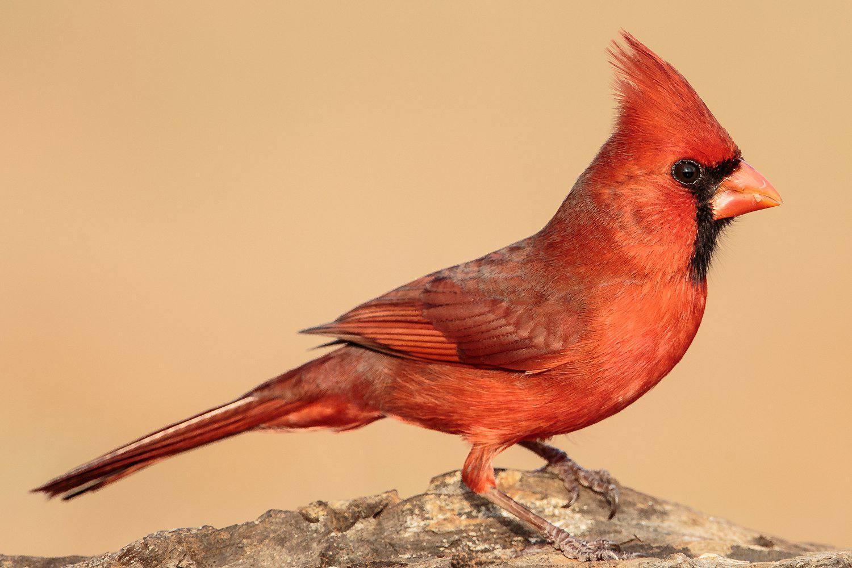 15 Most Popular North American Bird Species