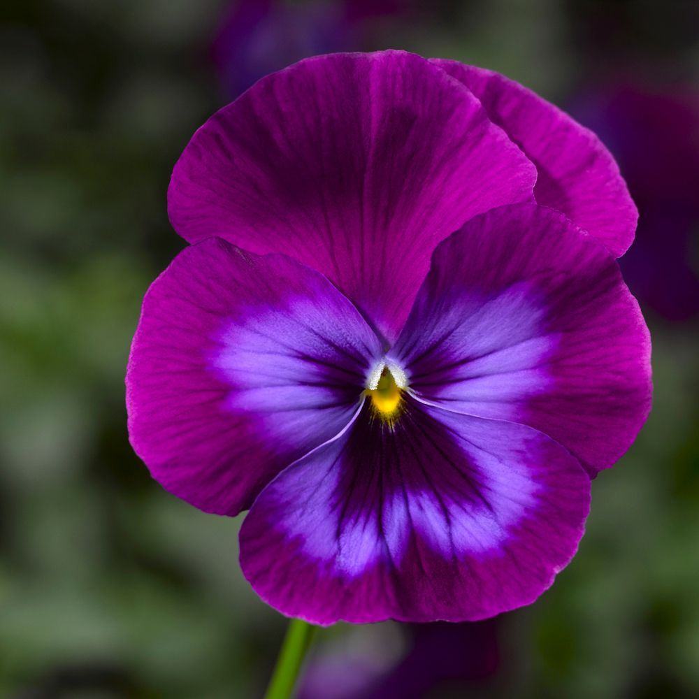 14 Pretty And Unusual Pansy Varieties