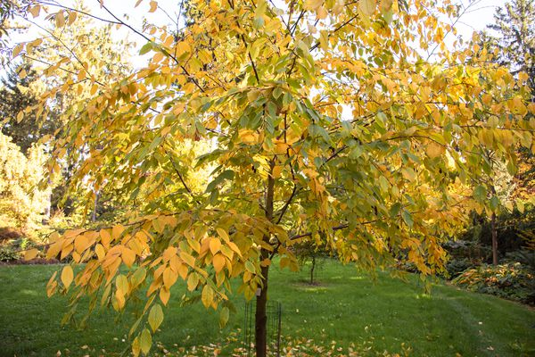 Cherry birch tree with thin trunk and sprawling branches with yellow and green leaves