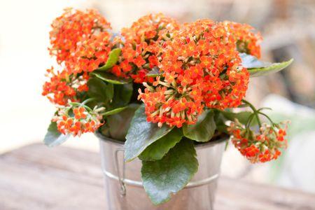 Growing Kalanchoe Plants Indoors