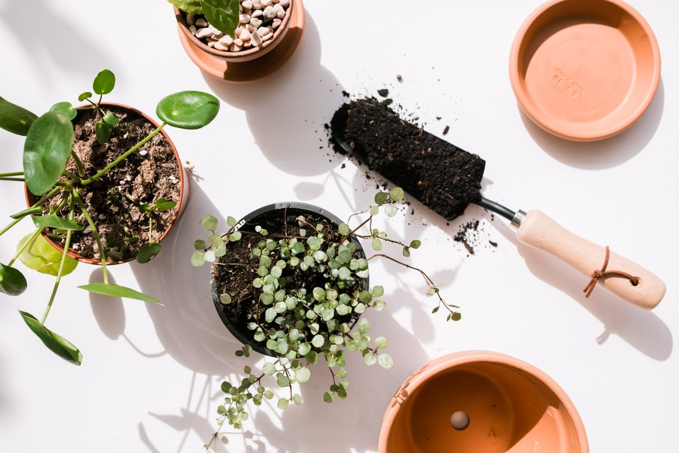 different pilea plants with gardening tools