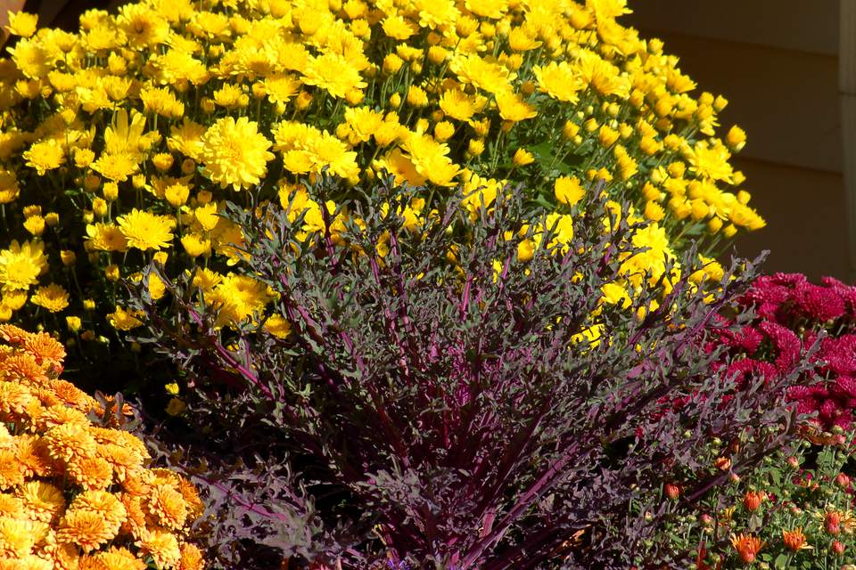 Yellow mums as a backdrop to ornamental kale
