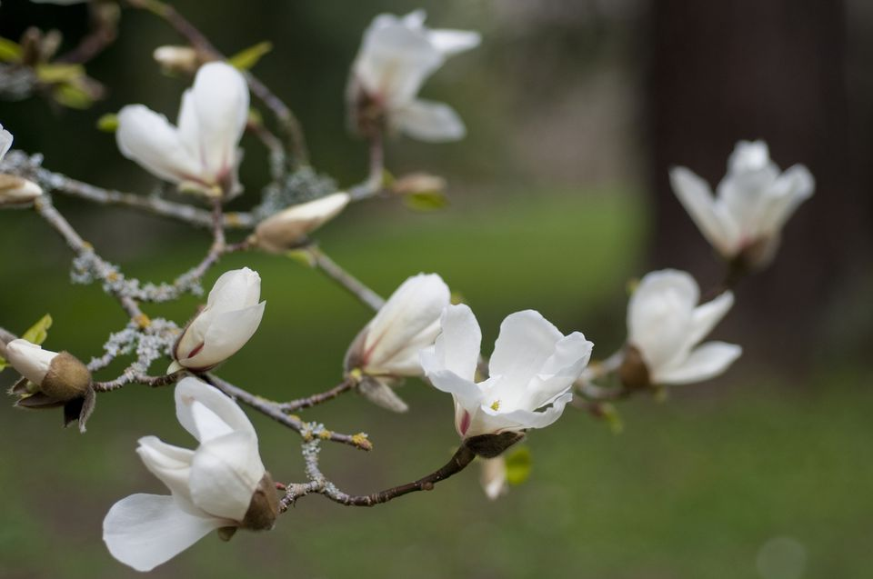 12 species of magnolia trees and shrubs kobus magnolia mightylinksfo