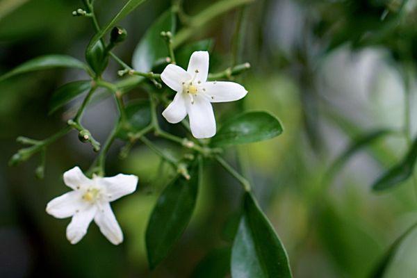 Orange jasmine flower closeup