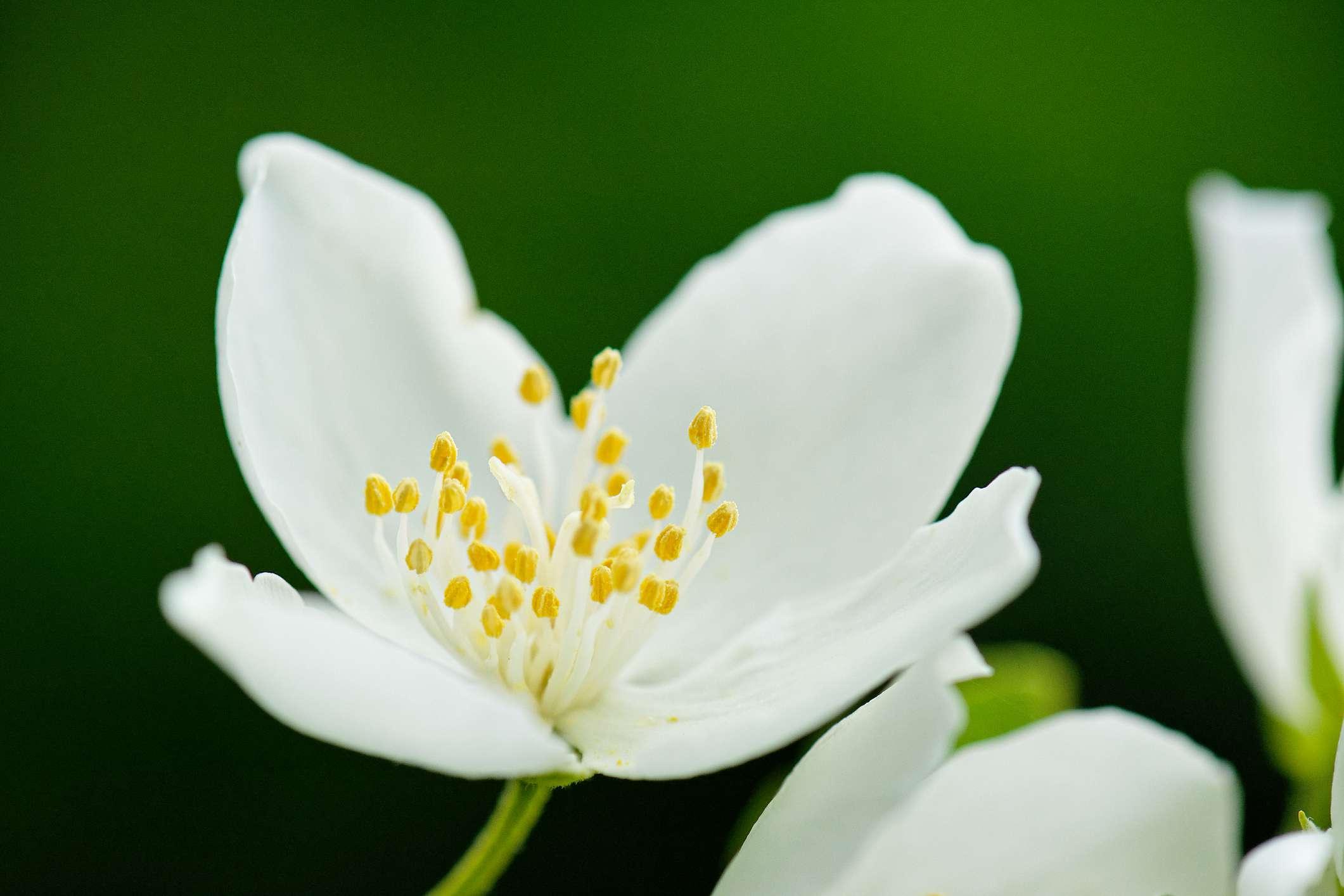 Flower of Philadelphus inodorus